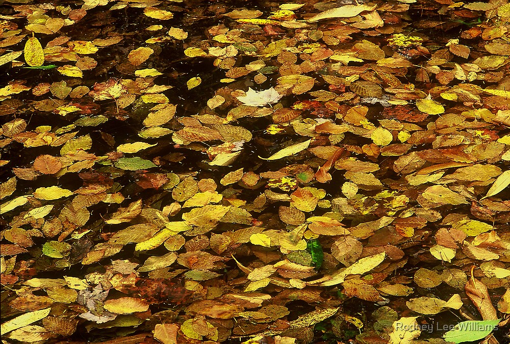 Gold Leaves Floating On Water by Rodney Lee Williams