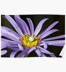 Crab Spider (Misumena vatia) on Purple Aster flower Poster