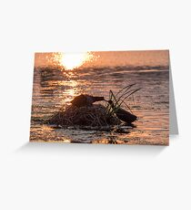 Silhouette of nesting Coots (Fulica atra) at sunset on golden pond Greeting Card