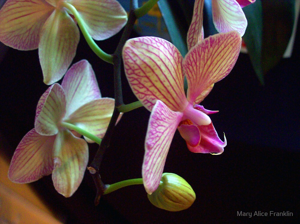 Orchid by Mary Alice Franklin