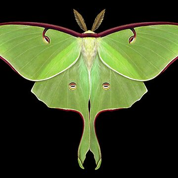 Luna Moth Painting by MaryCapaldi