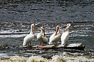 Row of Pelicans by Vickie Emms