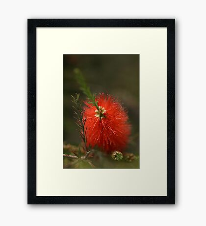 Soft Bottlebrush Framed Print