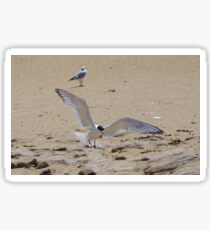 Greater Crested Tern (Thalasseus bergii) 2 Sticker