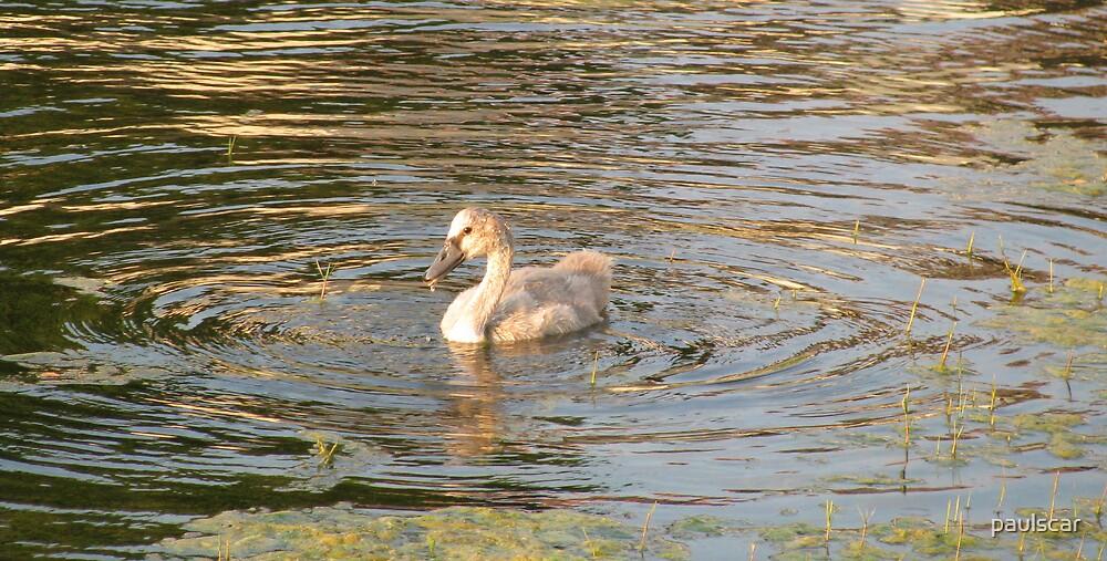 teen age swan by paulscar