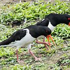 Piping Oystercatchers by MikeSquires