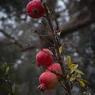POMEGRANATE Punica granatum Leith Park Victoria 20170515 0519  by Fred Mitchell