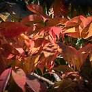 Red Autumns leaves near Liscombe House Leith Park Victoria 20170518 0546 by Fred Mitchell