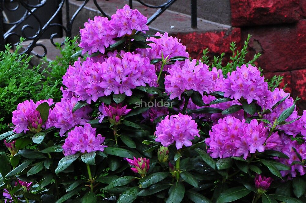 Full Bloom by sholder