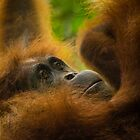 A wild Orangutan in deep thought as she hangs by ensell