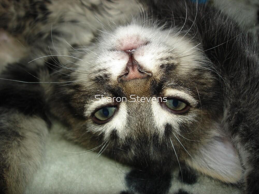 Jebadiah as a kitten by Sharon Stevens