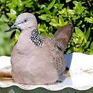 Spotted Malay Dove - Southland by AndreaEL