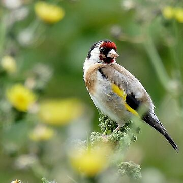 Goldfinch - Lauder by AndreaEL