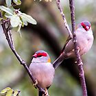 Beautiful firetail finch by indiafrank