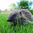 Hedgehog - Pukerau by AndreaEL