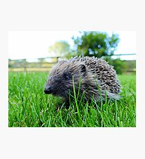 Hedgehog - Pukerau Photographic Print
