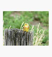Yellow Hammer - New Zealand Photographic Print