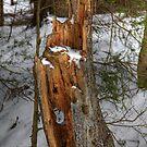 Hollow Stump by hynek