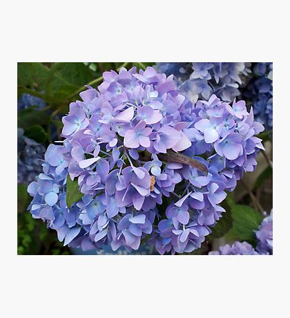 Wonderful hydrangea Photographic Print