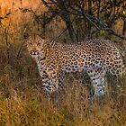Posing Leopard by Richard Shakenovsky