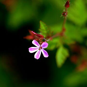 Geranium Robertianum / Herb Robert by cherryannette