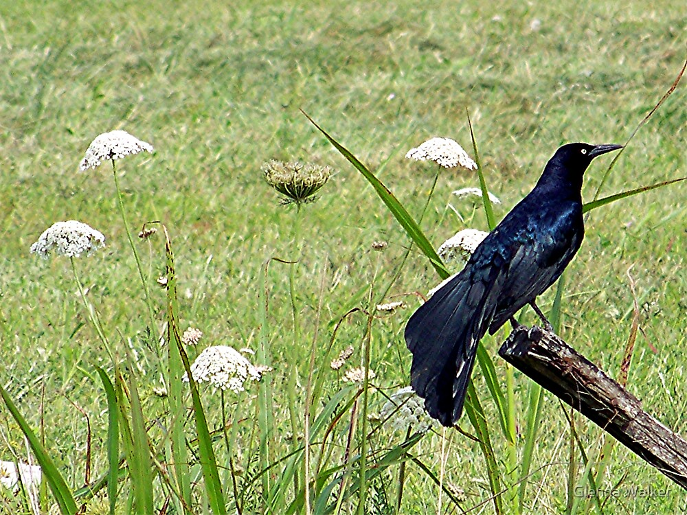 Great-tailed Grackle by Glenna Walker
