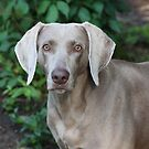 WEIMARANER - DIXIE by Ginger  Barritt