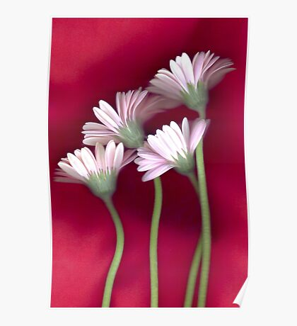 Daisies on Red Poster