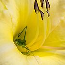 Praying Mantis Hiding in a Lilly by Robert Kelch, M.D.