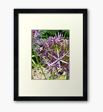 Bumble bee on Aliums Framed Print