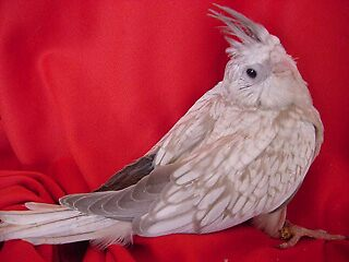 Photo session: young white face pearl cockatiel by GreyFeather