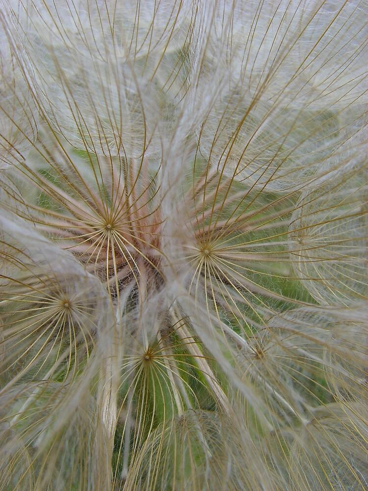 Dandelion  by kelleybear