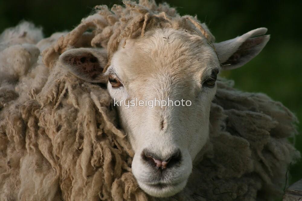 Sheep by krysleighphoto