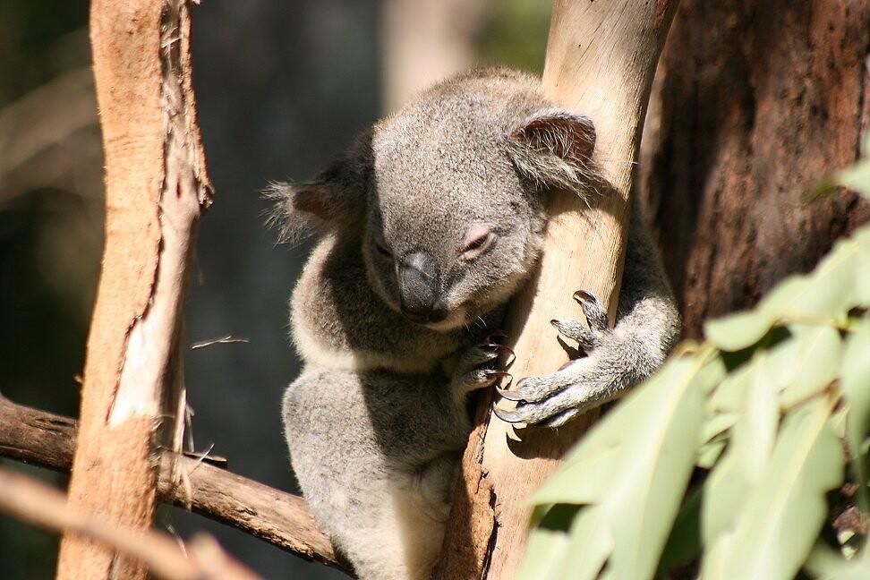 Koala by NikkiT