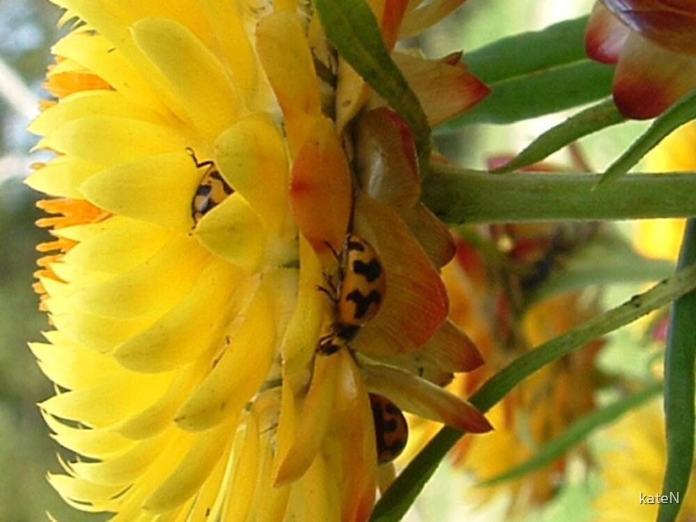 ladybeetles in the strawflowers by kateN