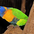 """""""Rainbow Lorikeet"""" ~ Peel Zoo, Western Australia. by Toni Kane"""