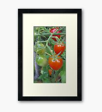 Stages. Tomatoes. Framed Print
