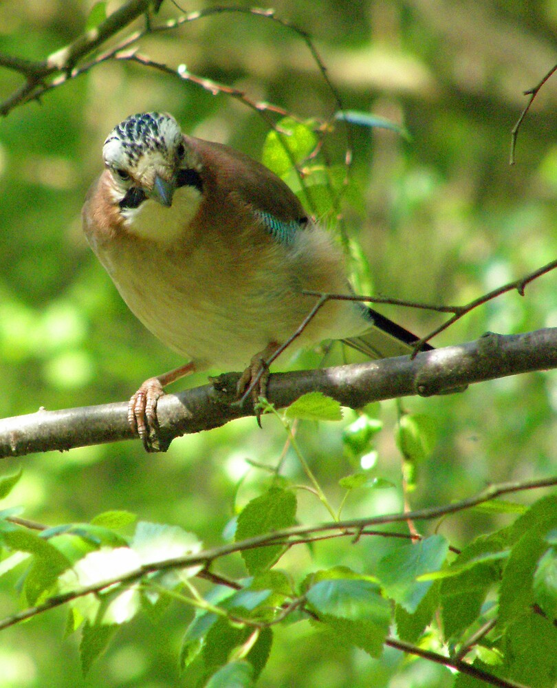 Jay in the wood by jay12