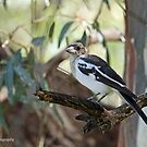Pied Butcherbird - Swan Hill, VIC (1545) by Emmy Silvius