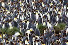 King Penguin Rookery by Carole-Anne