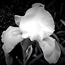 The Iris That Glows by Sherry Hallemeier
