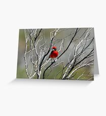 Crimson Chat (male) - Hawker SA (554) Greeting Card