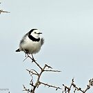 White-fronted Chat - Altona  VIC  (313) by Emmy Silvius
