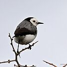 White-fronted Chat - Altona  VIC  (369) by Emmy Silvius