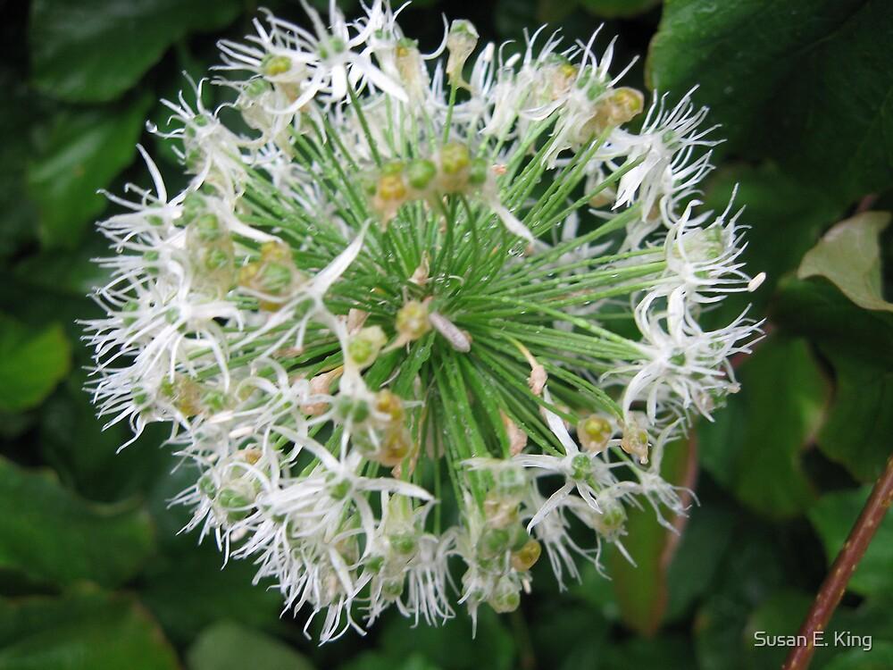 Allium by Susan E. King