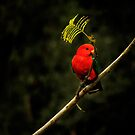 Australian King Parrot by theleastone