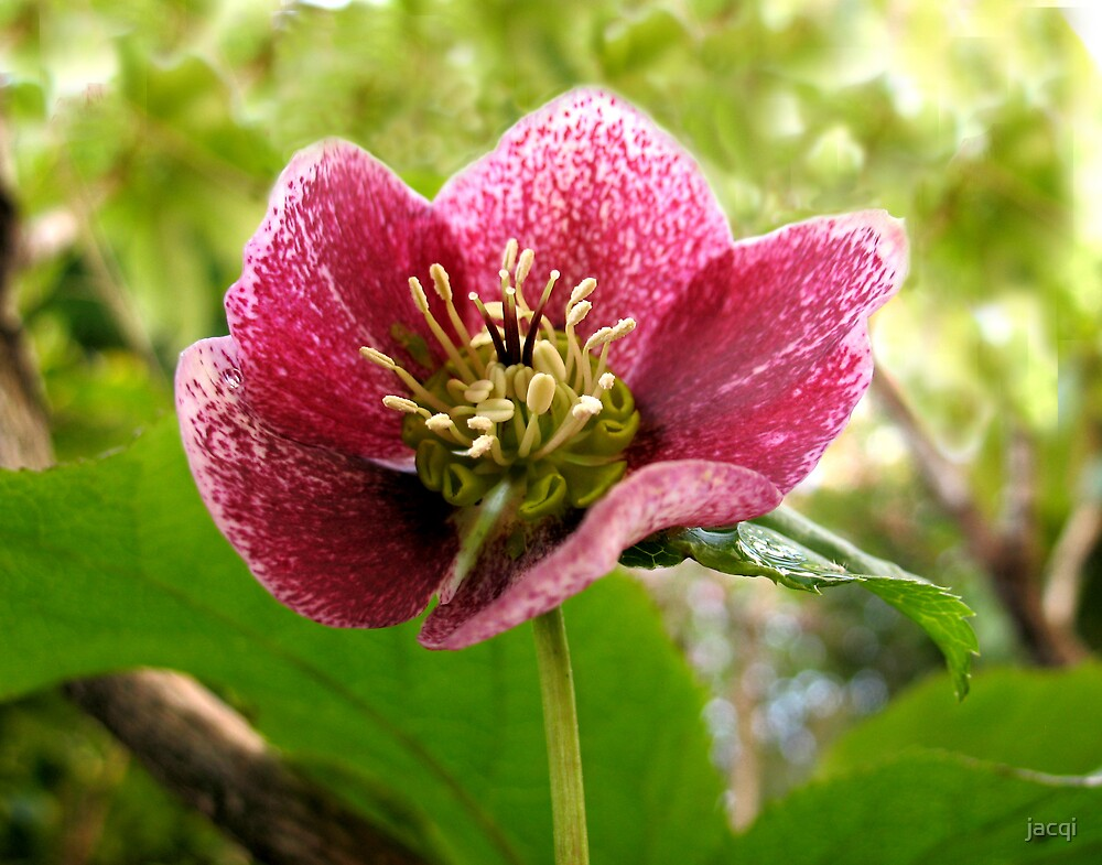 Hellebore by jacqi