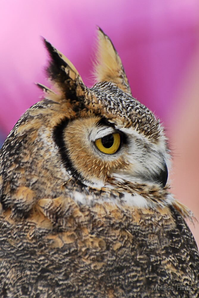 Great Horned Owl by Melissa  Hintz