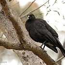 White-winged Chough - Little Desert NP (61) by Emmy Silvius