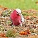 Galah - Queenscliff  VIC (518) by Emmy Silvius